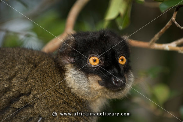 Red fronted brown lemur, Eulemur rufus, Vakona Forest Reserve, Andasibe Mantadia National Park, Madagascar