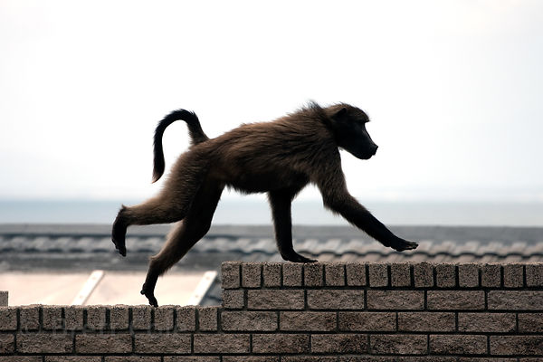 A chacma baboon in Simon's Town, South Africa. The town is a flash point for conflicts between humans and the baboons