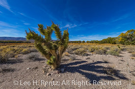 Joshua Tree in Pahranagat National Wildlife Refuge in Nevada