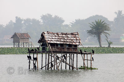 Cormorants (sp.) gather on a fishing hut in the East Kolkata Wetlands, Kolkata, India.