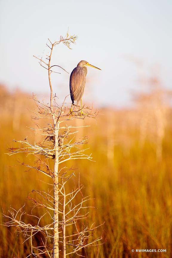TRICOLORED HERON IN THE MORNING SUNLIGHT PA-HAY-OKEE EVERGLADES NATIONAL PARK FLORIDA