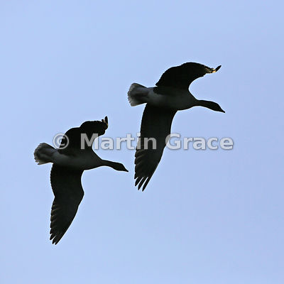 Two Pink-Footed Geese (Anser brachyrhynchos) flying in tight formation, Lancashire, England