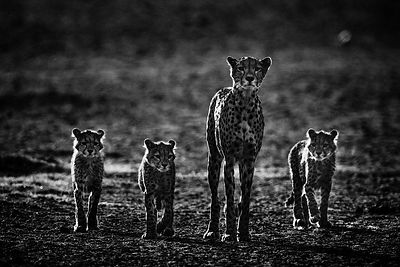 8031-Cheetah_family_Tanzania_2015_Laurent_Baheux