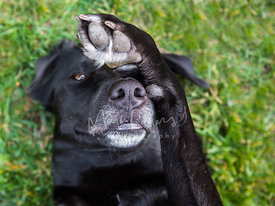 Senior Black Labrador Retriever with Paw Over Eye