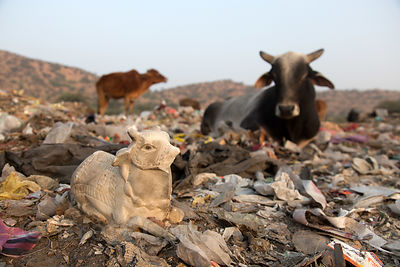 Small marble icon of a cow sits on a field of plastic in the Pushkar municipal dumping ground (landfill), Pushkar, Rajasthan,...