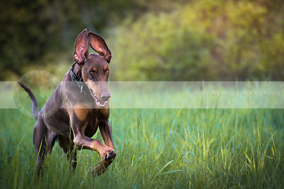 red and tan dog with ears bounding running in meadow