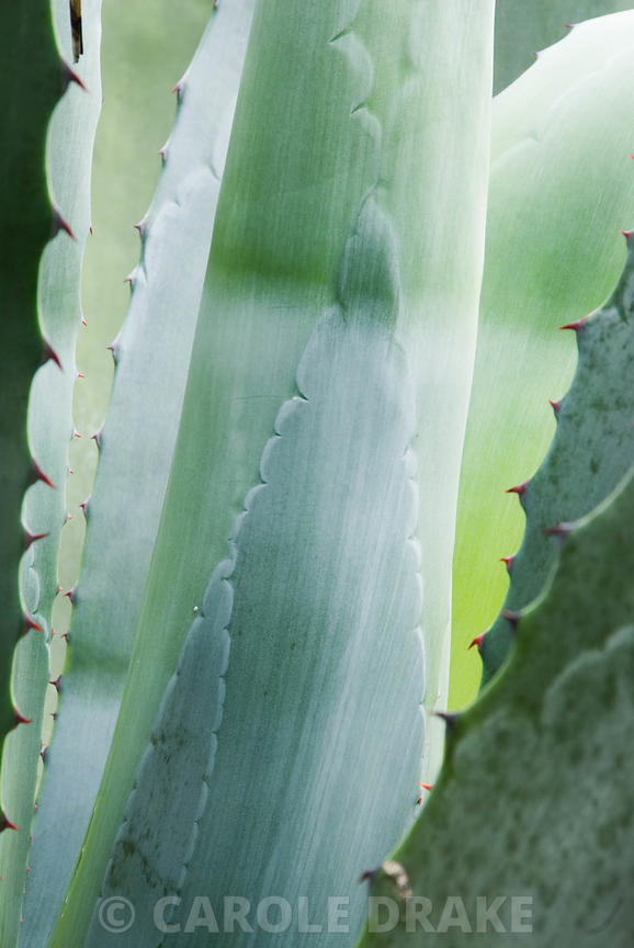 Blue green fleshy leaves of Agave americana. Trebah, Mawnan Smith, nr Falmouth, Cornwall, UK