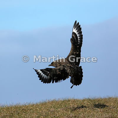 Great Skua (Bonxie) (Stercorarius skua, Catharacta skua) in flight, about to land, Hermaness National Nature Reserve, Unst, S...