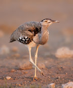 Kori bustard full body view