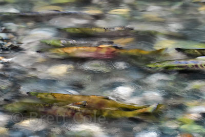 Impressionistic rendering of wild chum salmon racing through the icy waters of Nooklikonic Creek, Great Bear Rainforest, Nuxa...