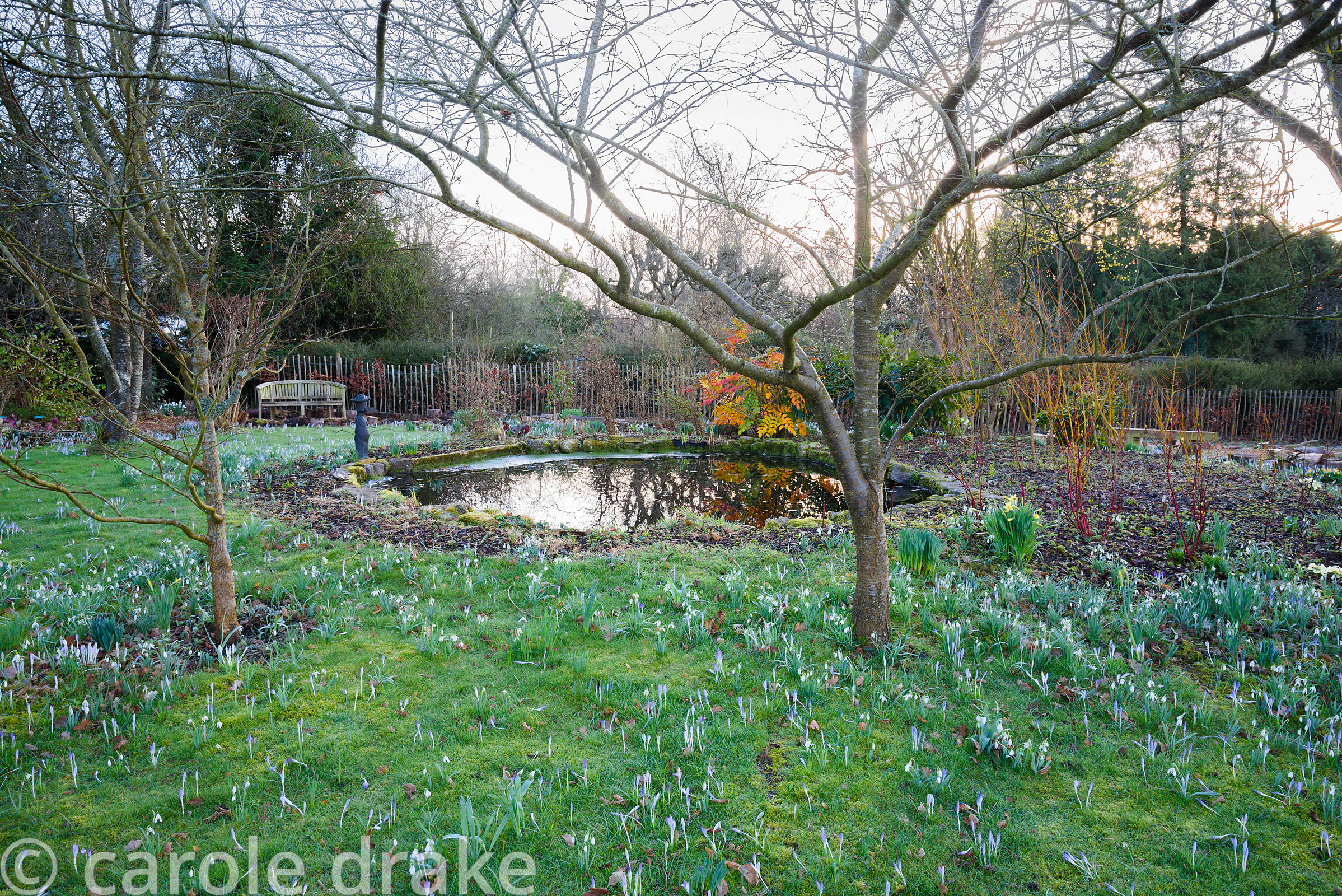 Pond edged with naturalized Crocus tommasinianus, snowdrops and shrubs including mahonia and dogwoods at The Down House, Hamp...