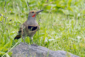 March - Northern Flicker