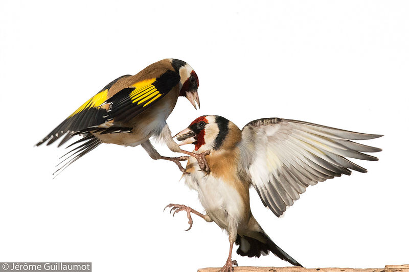 "Goldfinch - ""Pouet pouet !"""