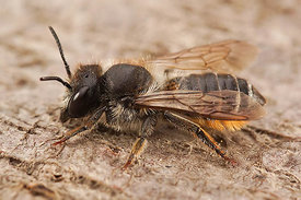 Bladsnijder species - Megachile species