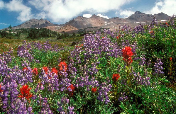 Red paintbrush and lupine in the wildflower meadows Snograss Flats in the Goat Rocks Wilderness, Washington Cascades.
