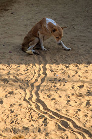 See if you can figure out what's going on here... Two lines in the sand from a paralyzed dog dragging its legs at the Tree of...