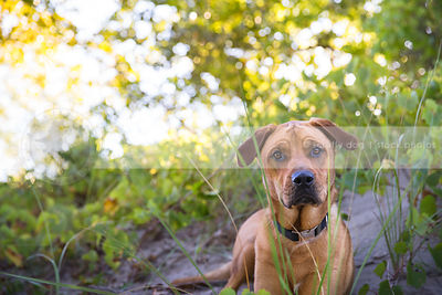 curious ridgeback cross breed dog staring through grasses