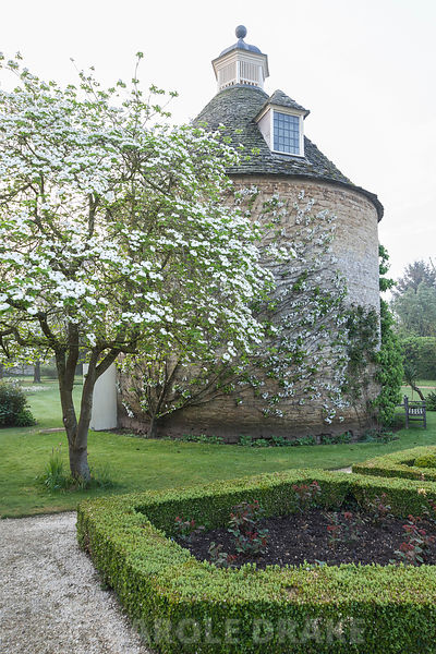 Cornus nuttallii flowering beside the Pigeon House in the Pigeon House Garden, near a box parterre. Rousham House, Bicester, ...