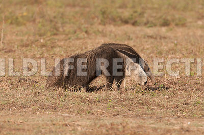 giant_anteater_walking-09041382