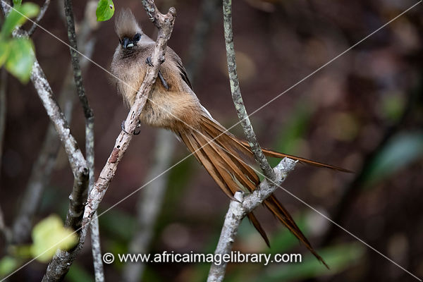 Speckled mousebird, Colius striatus, Wilderness, South Africa