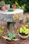 Pots of succulent plants including Aeonium arboreum surround a millstone table at the end of the swimming pool garden at Coth...