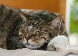 Close-up of sleeping brown tabby cat