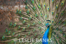 Peacock Showing Off His Feathers