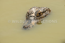 caiman_pond_face-7