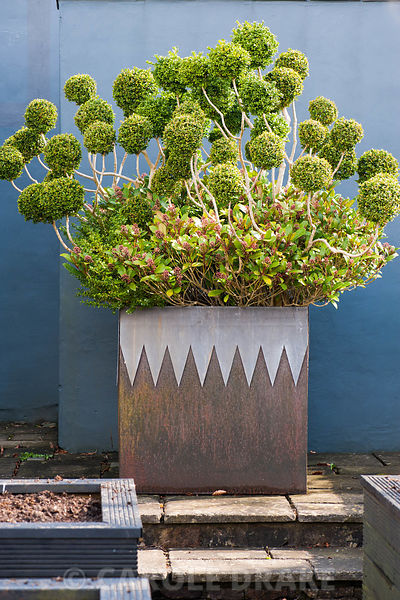Cloud pruned box and skimmia in a steel container with decorative lead 'collar' against a grey wall.