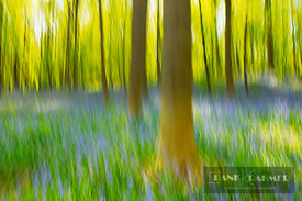Beech forest with bluebells blurred (lat. fagus sylvatica) - Europe, Belgium, Flanders, Halle, Hallerbos - digital