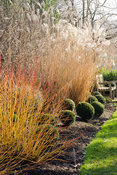 Cornus sanguinea 'Midwinter Fire' with clipped box balls and miscanthus. Sir Harold Hillier Gardens, Ampfield, Romsey, Hants, UK