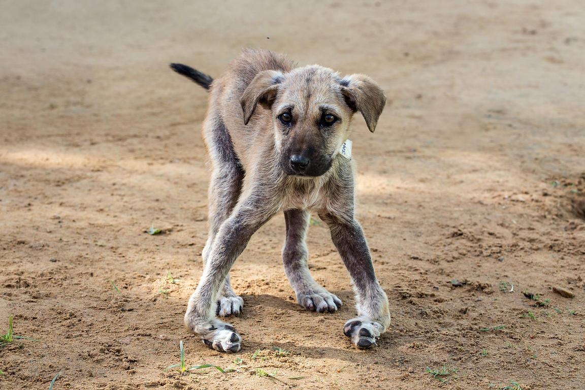 A puppy with broken legs after being run over by a car, recovering at the Tree of Life for Animals rescue center (tolfa.org.u...