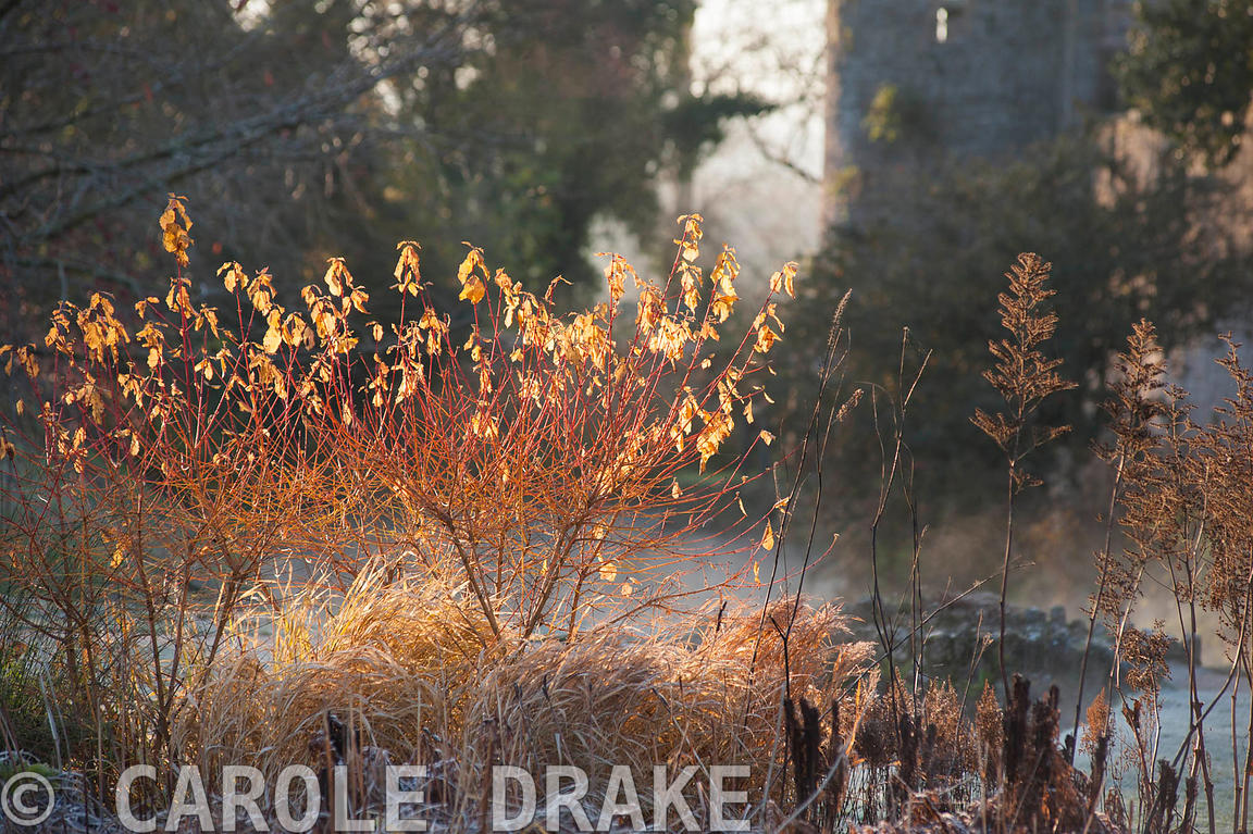 Early morning sun illuminates the last few leaves on colourful cornus and russets of dead grasses and astilbes in the Bishop'...