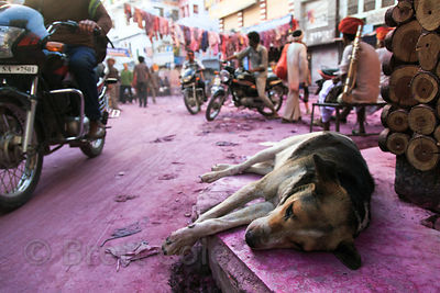 Street dog sleeping on a street left purple after the Holi Festival, Pushkar, Rajasthan, India