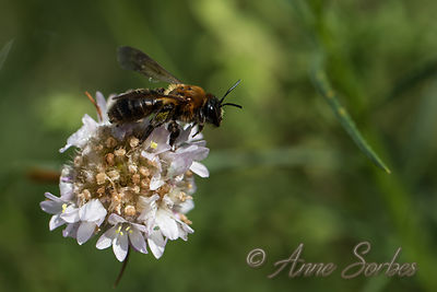 Andrena thoracica