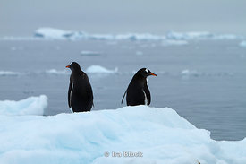 Two gentoo penguins walking on glacier at Neko Harbor, the Antarctic Peninsula.