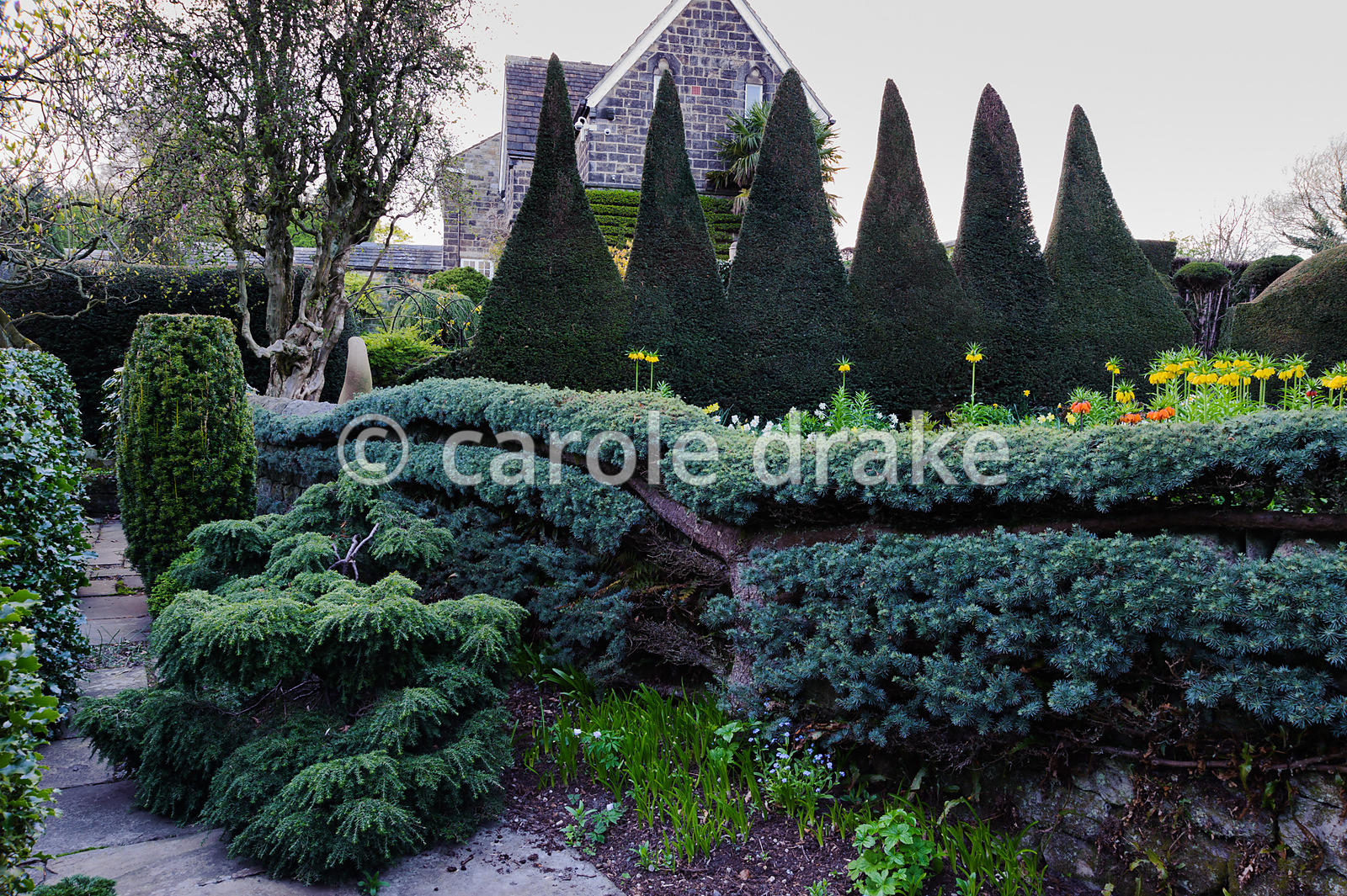 Espaliered cedar in the Pinetum, with serrated yew hedge in the Canal Garden beyond. York Gate Garden, Adel, Leeds, Yorkshire