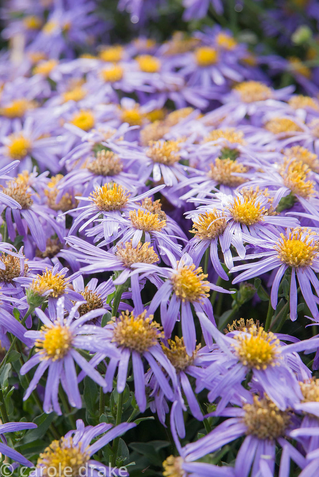 Aster amellus 'King George', AGM. Waterperry Gardens, Wheatley, Oxfordshire, UK
