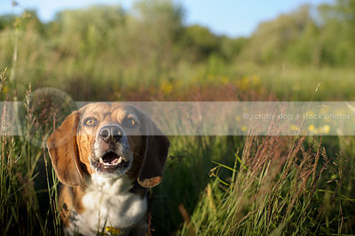 beagle dog barking staring from meadow grass in sunshine