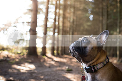 headshot of fawn french bulldog looking skyward in forest