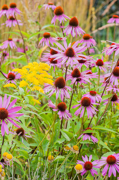 Echinacea purpurea Bressingham hybrids. Helmsley Walled Garden, Helmsley, York, North Yorkshire, UK