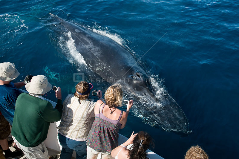 Humpback whale (Megaptera novaeangliae) close to boat, watched and photographed by whale watchers, Sea of Cortez, Baja Califo...
