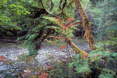 Lovely Autumn scene along a side channel of the Sol Duc River, Olympic Rainforest, Washington.