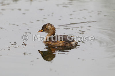 Little Grebe (Tachybaptus ruficollis), Inverness-shire, Scotland, United Kingdom