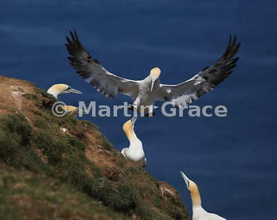 Sub-adult (4th-year) Northern Gannet (Morus bassanus) in flight over others on a cliff edge, Bempton Cliffs (RSPB), East Ridi...