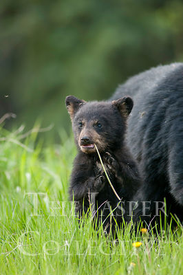 Black Bear Cub Standing Beside Sow