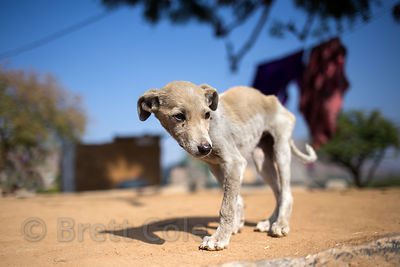 Stray dog puppy with a broken leg, Pushkar, Rajasthan, India