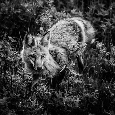 3213-Renard_Roux_du_Yellowstone_Wyoming_USA_2014_Laurent_Baheux