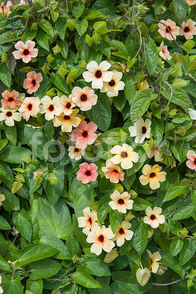 Thunbergia alata 'African Sunset Mixed', suzanne aux yeux noirs