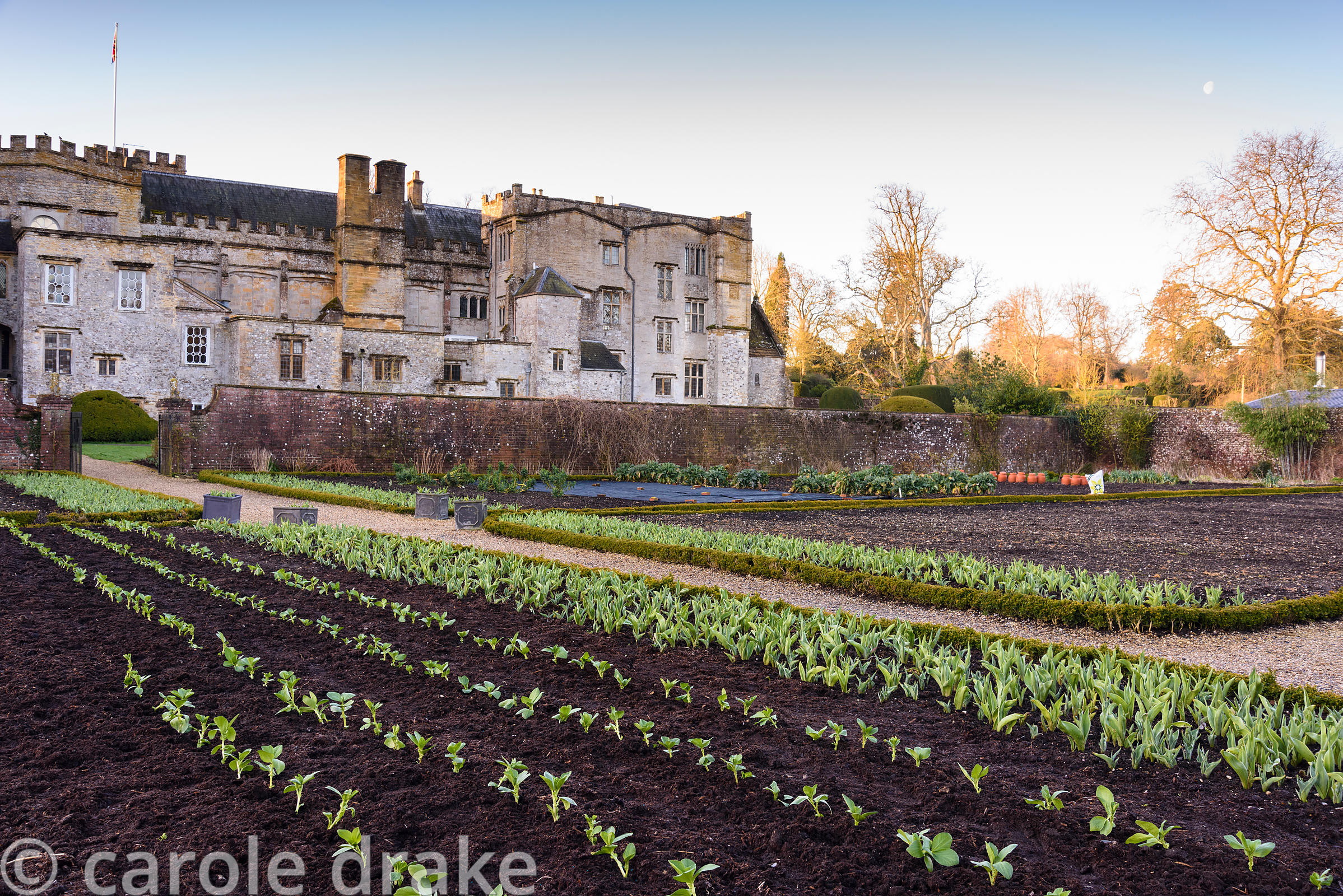 The kitchen garden at Forde Abbey in April with rows of broad bean plants in the foreground